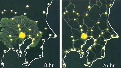 Slime molds mimicking Tokyo's rail network